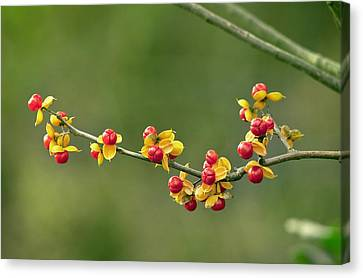 Oriental Staff Vine Fruit Canvas Print by Science Photo Library