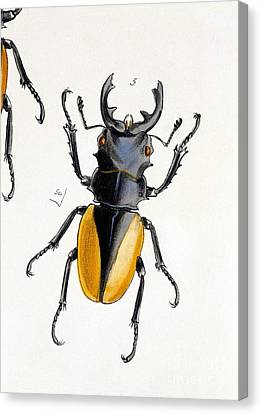 Oriental Stag Beetle, 19th Century Canvas Print by Natural History Museum, London