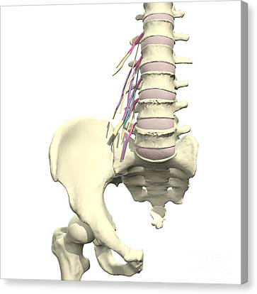Origins Of The Lumbar Plexus Canvas Print by Medical Images, Universal Images Group