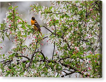 Oriole In Crabapple Tree Canvas Print