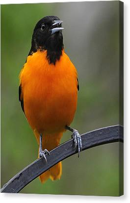 Oriole Canvas Print by John Kunze