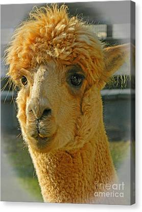 Orion The Alpaca 2 Canvas Print by Emmy Marie Vickers