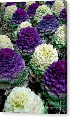 Ornamental Cabbage Canvas Print by Amy Cicconi