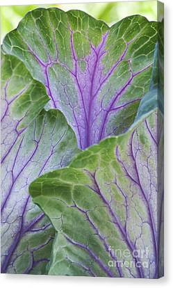Ornamental Cabbage Leaves Canvas Print by Tim Gainey