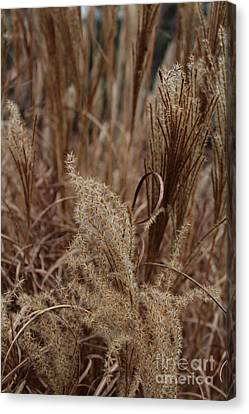 Ornamental Grass Canvas Print by Arlene Carmel