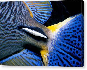 Ornate Surgeonfish Tail Canvas Print