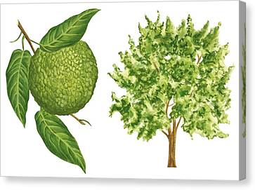 Fresh Canvas Print - Osage Orange Tree by Anonymous