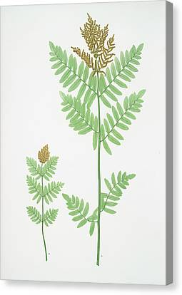 Osmunda Regalis. The Royal, Or Flowering Fern Canvas Print by Litz Collection