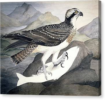 Osprey, 19th Century Canvas Print by Science Photo Library