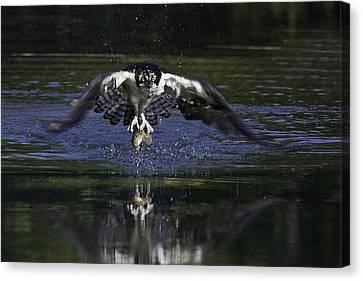 Osprey Bird Of Prey Canvas Print