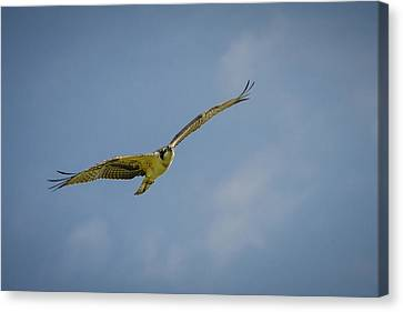 Osprey Canvas Print by Bradley Clay