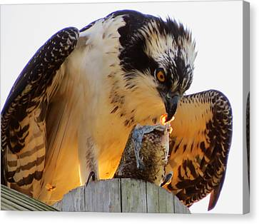 Canvas Print featuring the photograph Osprey Breakfast by Dianne Cowen