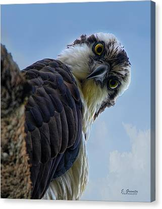 South Carolina State Bird Canvas Print - Osprey Close Up by Joe Granita