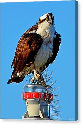 Osprey Close-up On Water Navigation Aid Canvas Print by Jeff at JSJ Photography