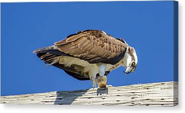 Canvas Print featuring the photograph Osprey Eating Lunch by Dale Powell