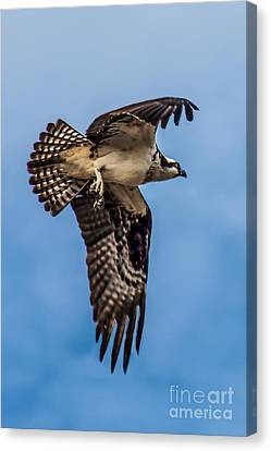 Osprey Flying Away Canvas Print by Robert Bales