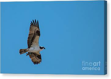 Osprey Flying Home With Dinner Canvas Print by Robert Bales