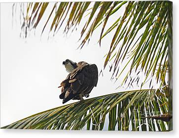 Jn Ding Darling National Wildlife Refuge Canvas Print - Osprey In Sanibel by Natural Focal Point Photography
