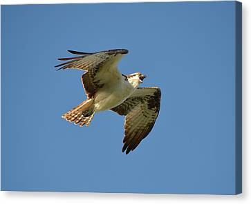 Osprey Canvas Print by James Petersen