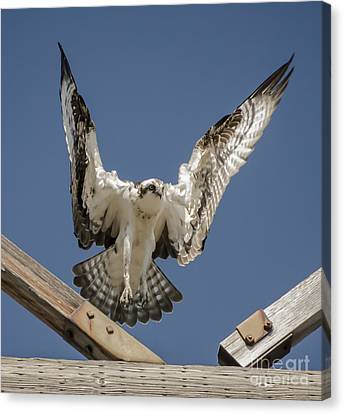 Canvas Print featuring the photograph Osprey Landing by Dale Powell