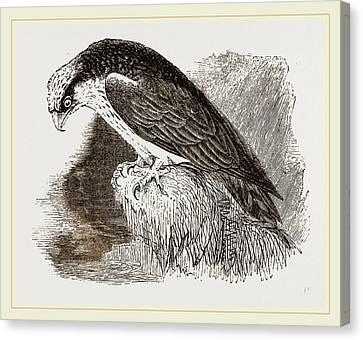 Osprey Canvas Print - Osprey by Litz Collection