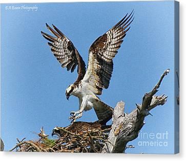 Osprey Mating Canvas Print by Barbara Bowen
