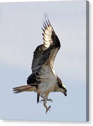 Osprey On Fripp Island Canvas Print by Bill LITTELL