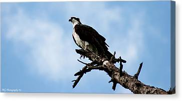 Osprey On Perch Canvas Print