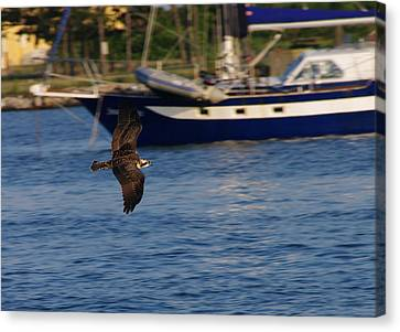 Canvas Print featuring the photograph Osprey On The Hunt by Greg Graham
