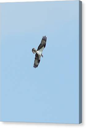 Canvas Print featuring the photograph Osprey Overhead by Lynda Dawson-Youngclaus