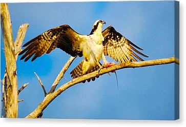 Osprey Pandion Haliaetus With Spread Canvas Print by Panoramic Images