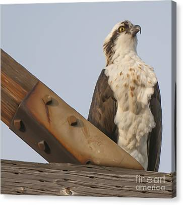 Canvas Print featuring the photograph Osprey -seahawk by Dale Powell