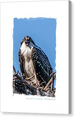 Announcement Canvas Print - Osprey Surprise Party Card by Edward Fielding