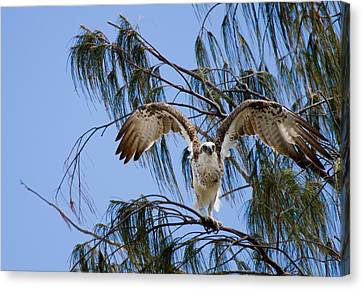 Osprey Take Off Canvas Print by Mr Bennett Kent