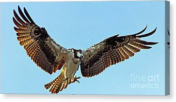 Osprey Talons First Canvas Print