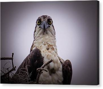 Eagle Canvas Print - Osprey Watching I by Zina Stromberg