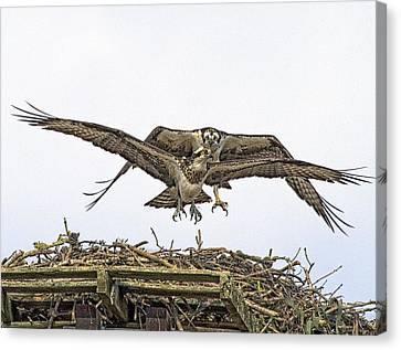 Osprey Wings And Talons Canvas Print by Constantine Gregory