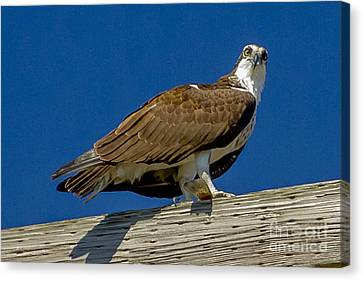 Canvas Print featuring the photograph Osprey With Fish In Talons by Dale Powell