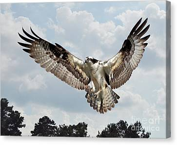 Osprey With Fish In Talons Canvas Print by Kathy Baccari