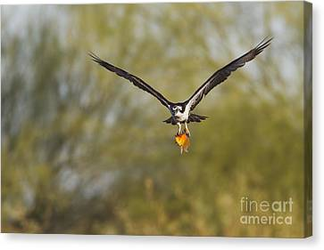 Osprey With Goldfish Canvas Print