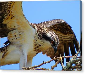Osprey Youth Canvas Print by Dianne Cowen