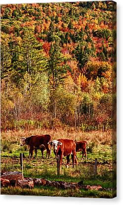 Canvas Print featuring the photograph Cow Complaining About Much by Jeff Folger