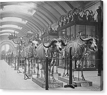 Osteological Gallery Canvas Print by Natural History Museum, London