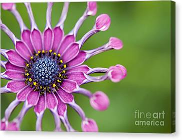 Asteraceae Canvas Print - Osteospermum Astra 'purple Spoon' by Tim Gainey