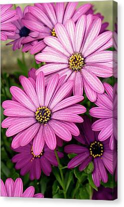 Osteospermum Ecklonis 'maseru' Flowers Canvas Print by Adrian Thomas