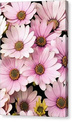 Osteospermum 'serenity Pink' Flowers Canvas Print by Adrian Thomas