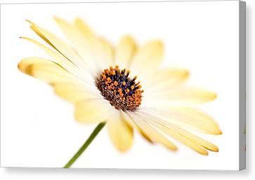 Osteospermum Sunny Flower I Canvas Print by Natalie Kinnear