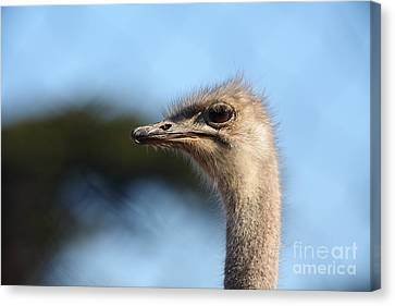 Ostrich Canvas Print - Ostrich 5d27027 by Wingsdomain Art and Photography