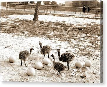 Arkansas Canvas Print - Ostrich Farm, Hot Springs, Ark, Ostriches by Litz Collection