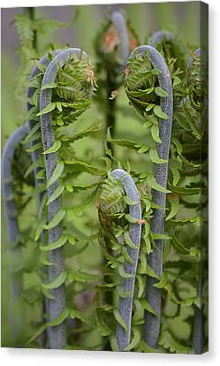 Ostrich Fern Fiddleheads Canvas Print